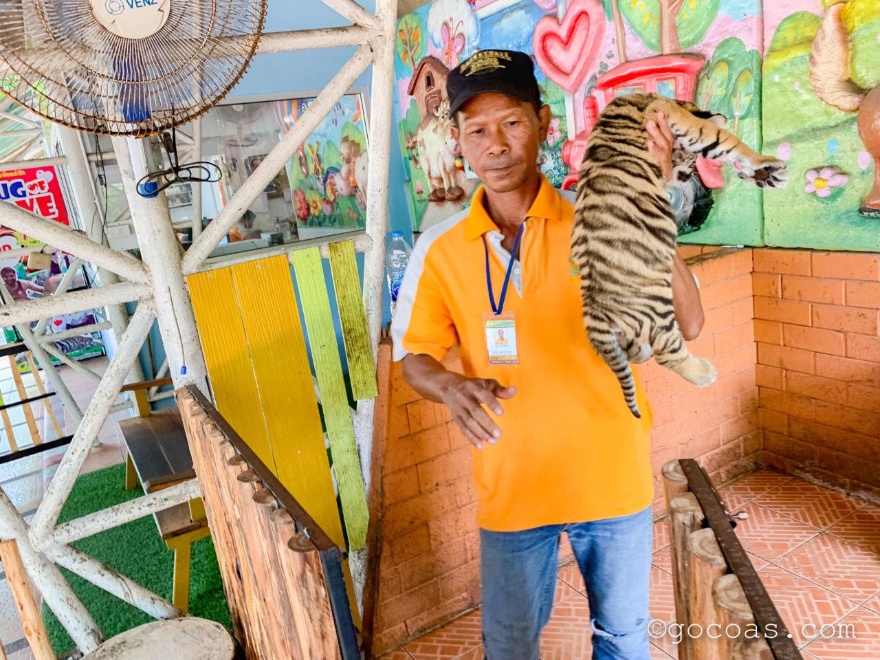 シラチャタイガーズーの子トラ抱っこ体験で子トラを抱きかかえるスタッフ