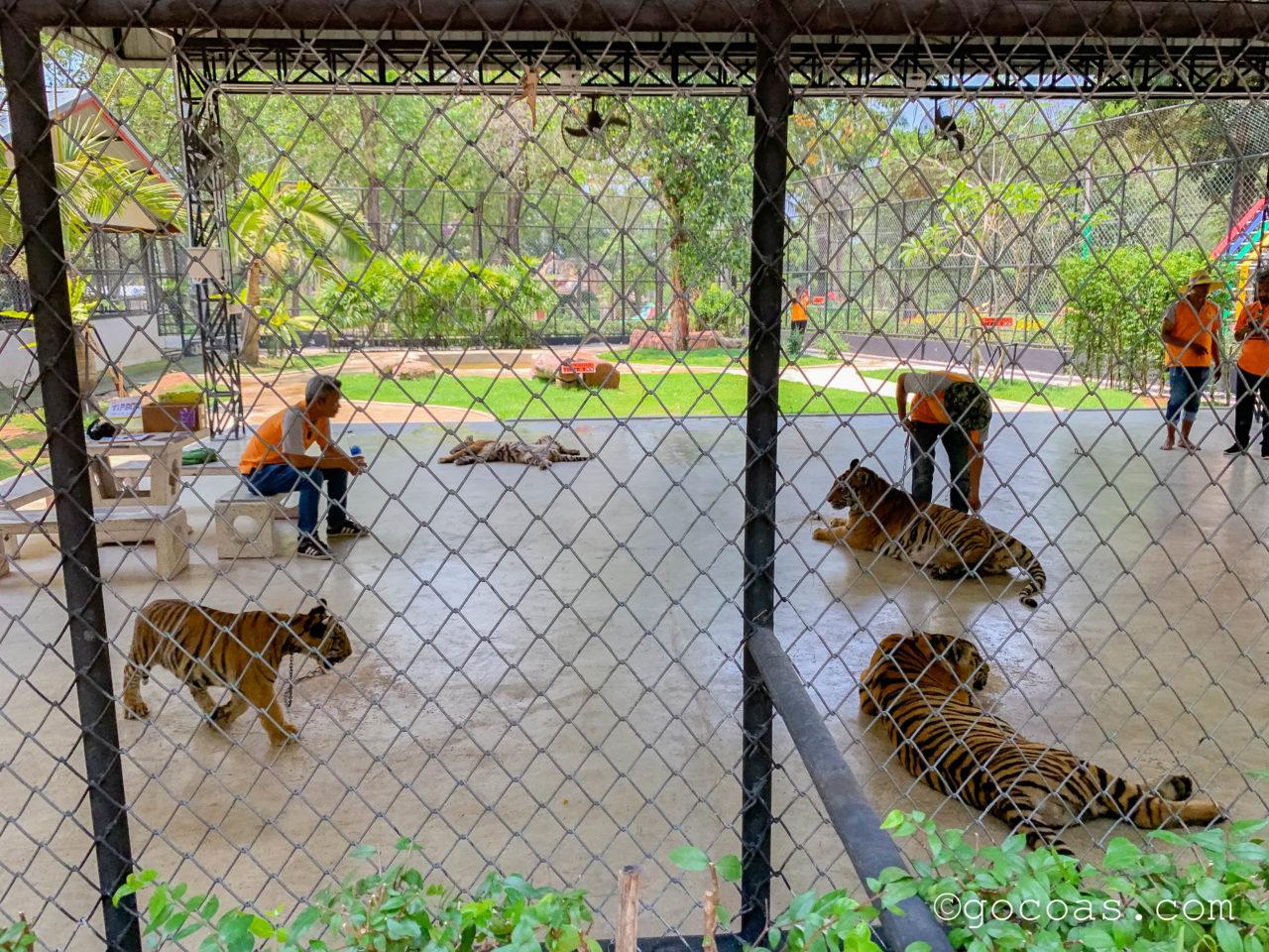 シラチャタイガーズーの屋外で何匹もいるトラと写真撮影体験