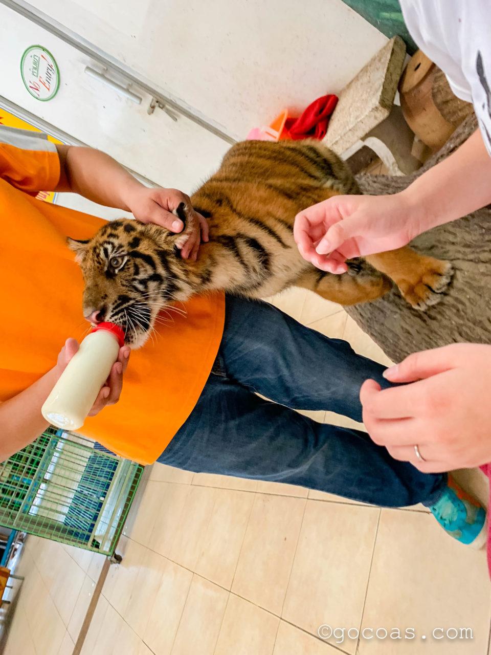 シラチャタイガーズーの体験でトラにミルクをあげるスタッフ