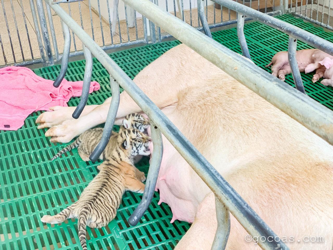 シラチャタイガーズーで豚のミルクを飲むトラの赤ちゃん